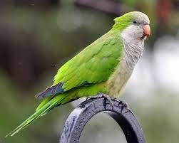 green quaker parrot
